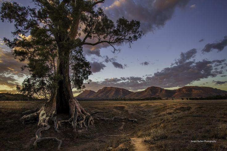 River Red Gum - Flinders Ranges