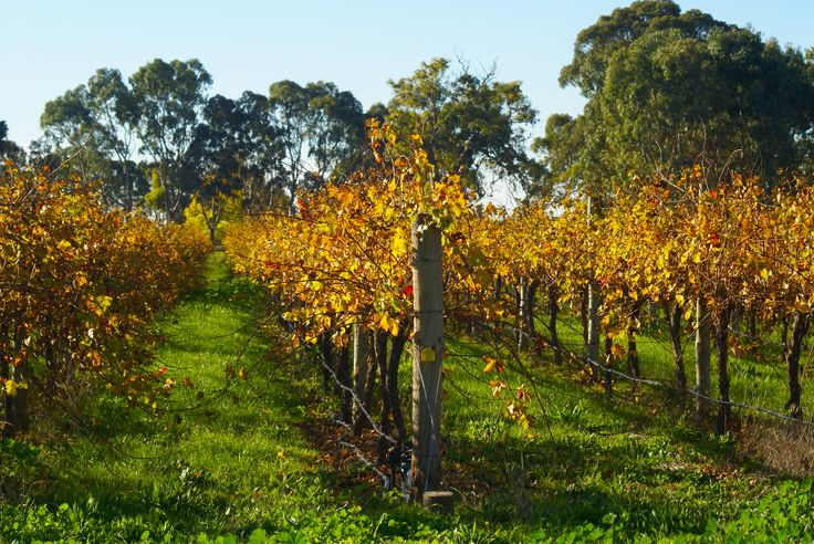 Coonawarra Vineyard at Autumn: View from my front gate; Limestone Coast; South Australia, Margaret Hage Sony DSLR100