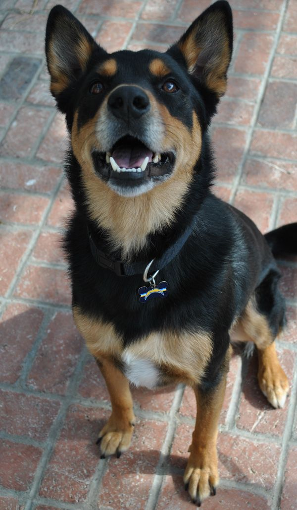 Denali the Rottweiler German Shepherd Mix