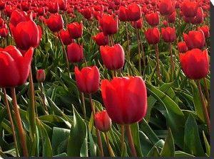 Quelles sont les significations des tulipes rouges?