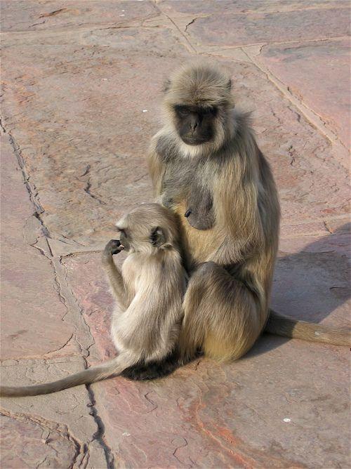 Monkey mother and child Dehli India