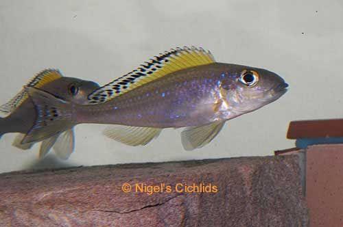 Xenotilapia spilopterus, Lago Tanganyika Cichlid