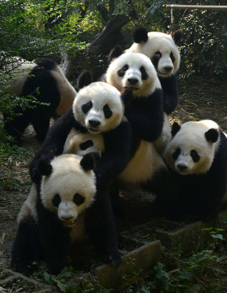 Vuelta a casa de osos panda: regreso cuatro años después de un terremoto (FOTOS, VÍDEO)