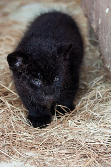Black Jaguar Cub! He's so fuzzy I could just die!!