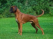 Boxer - A.k.a. German Boxer, Deutscher Boxer - Germany - The Boxer was bred from the English Bulldog and the now extinct Bullenbeisser and is part of the Molosser group.