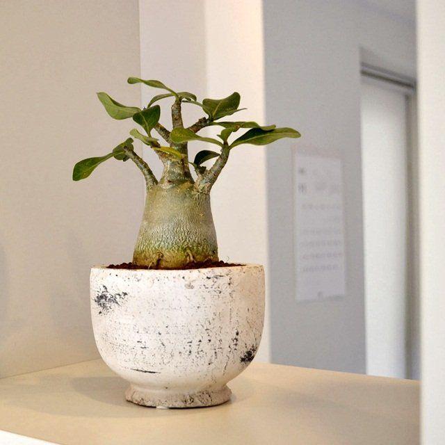 fancy design ceramic plant pots. Adenium  Desert Rose I love these 90 best Plants in pots images on Pinterest Succulents Plant