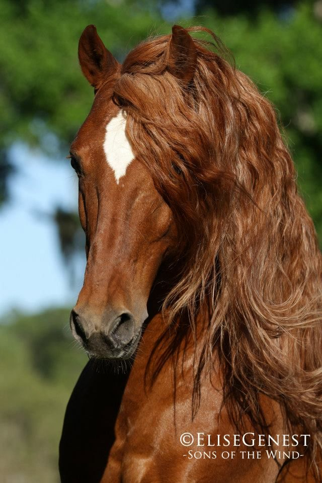 Chestnut Arabian Horse - from Elise Genest Arts & Chevaux's Photos in - 'Sons of the Wind'