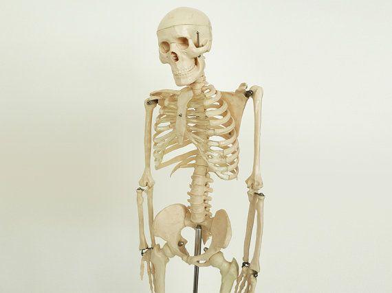 top 25+ best human skeleton model ideas on pinterest   skeletal, Skeleton