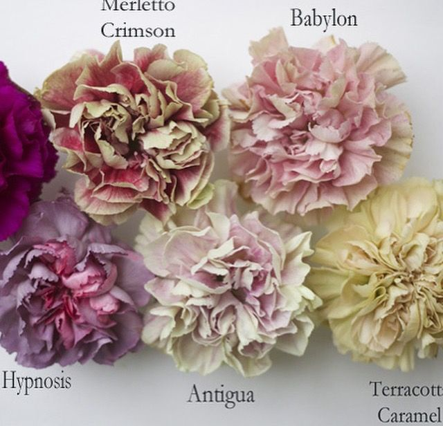 Carnations: all year $