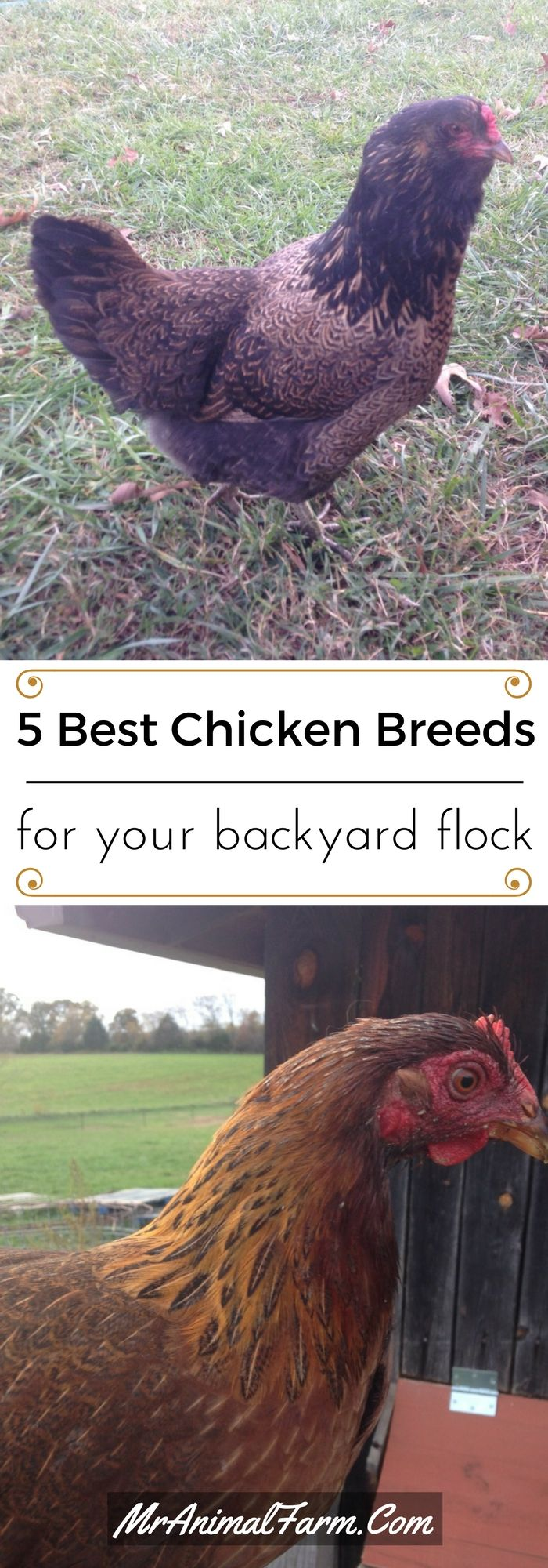 17 best ideas about summary of animal farm animal 5 best breeds for your backyard flock ebook