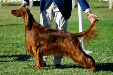 In Conformation shows, a dog's overall appearance and structure is judged against his breed's standard | Dog shows | AKC dog shows