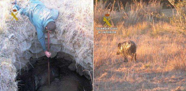 Un Guardia Civil rescata a un pequeño jabalí atrapado en un pozo: #guardiacivil #españa #spain #jabali #jabalies #seprona #noticia #noticias #animales #animal #schnauzi