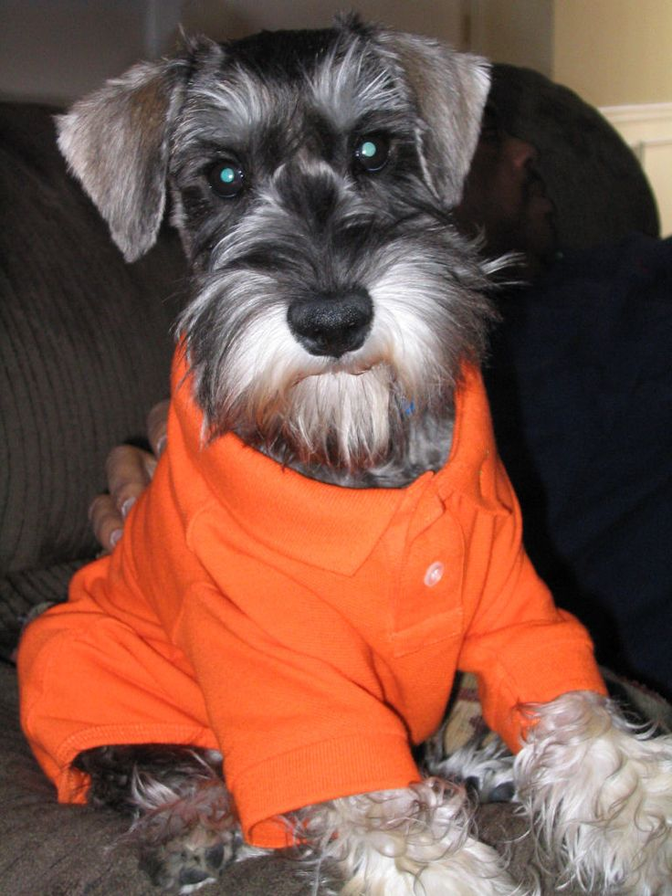 miniature schnauzer:.. OMG this little cutie looks just like my little mini, they could be related!! Just to cute*❤*