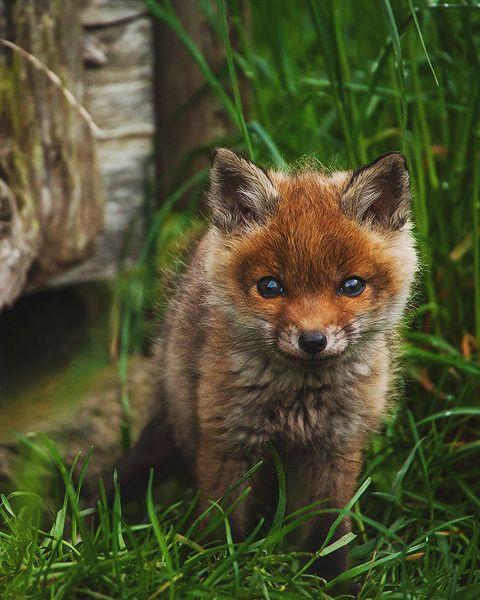 Red Fox Cub by Florian Warnecke