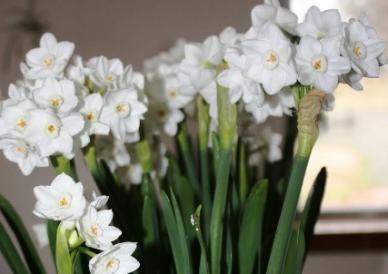 "Paperwhite Narcissus Bulbs (Indoor) - ""Ziva"""
