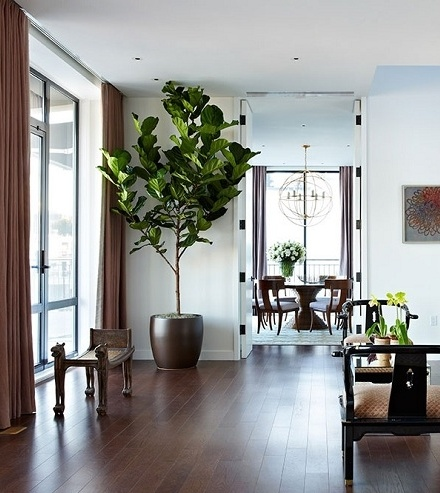 30 best images about ficus lyrata on pinterest general