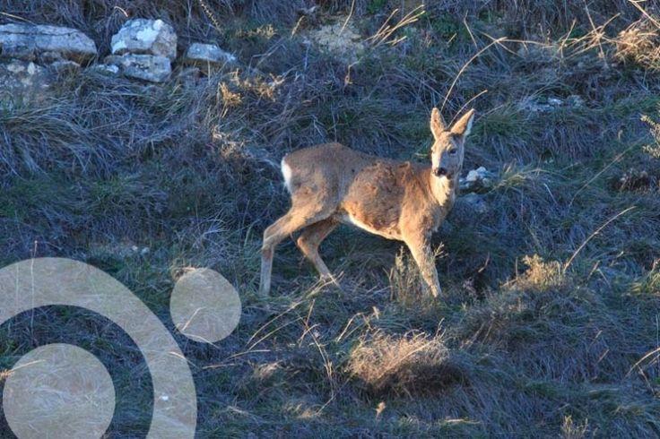 Roe deers are very abundant