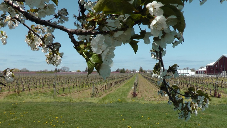 Blossoming apricot trees overlooking Pillitteri Vineyard