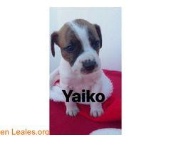 Yaiko el bueno.  #Adopción #adopta #adoptanocompres #adoptar #LealesOrg  Contacto y info: Pulsar la foto o: https://leales.org/animales-en-adopcion/perros-en-adopcion/yaiko-el-bueno_i2825 ℹ  Sociable con perros y gatos. Fue rescatado con apenas 20 días de vida junto con su madre y sus hermanos. Después de sobrevivir a la parvo y a la tos de perrera hace vida normal en su casita de acogida. Quiere una familia definitiva para toda su larga vida.    Acerca de esta publicación:   Esta…