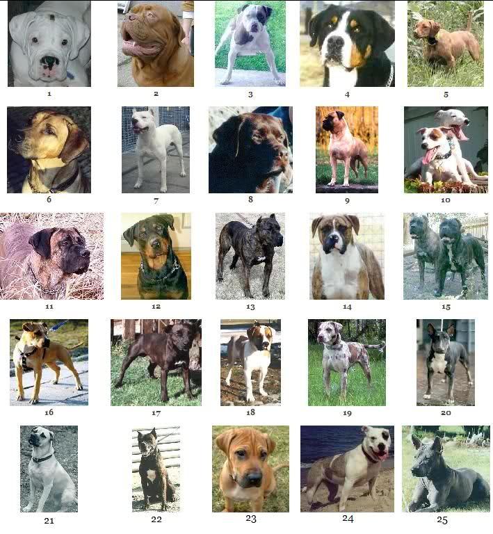 ... για American Pitbull Terrier Breeders στο Pinterest | Pitbull