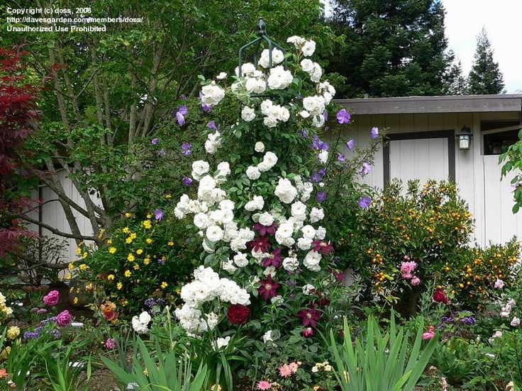 Rose cl iceberg blooming on a pillar with clematis for Rosa iceberg