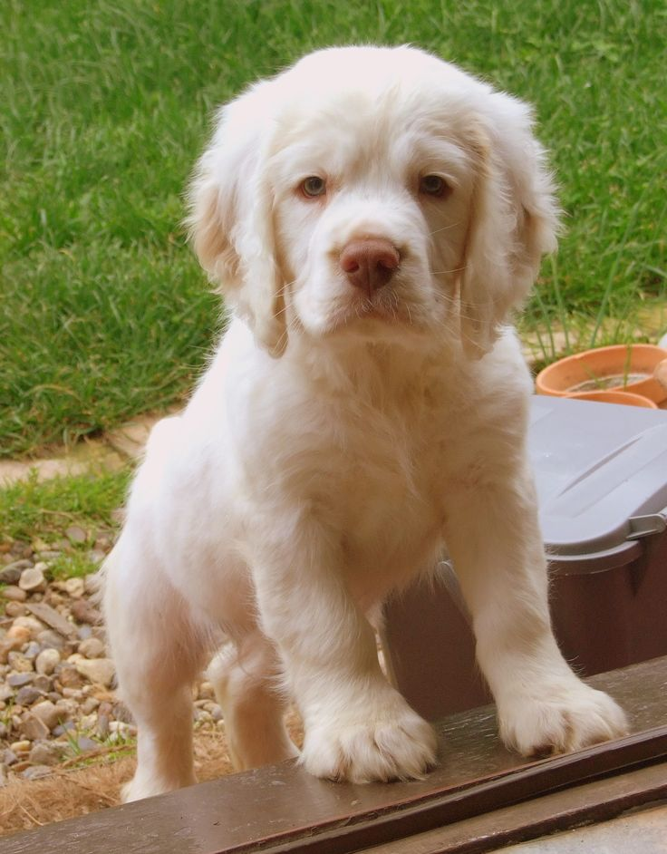 clumber spaniel puppies, probably the sweetest thing ever. i miss mine =(