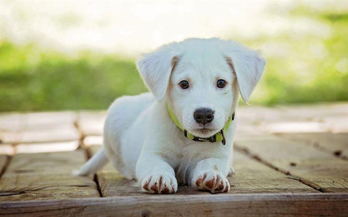 Download imagens golden retriever, filhote de cachorro, 4k, canino, pequeno labrador, animais fofos, labrador