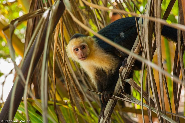 Capuchin by Stéphanie Masson on 500px - Capuchin monkey in Manuel Antonio National Park, Costa Rica.