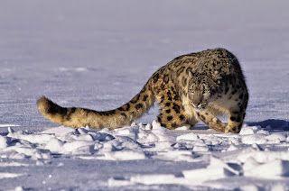 FatalWalker's Attuality: Leopardo delle nevi/Panterha uncia