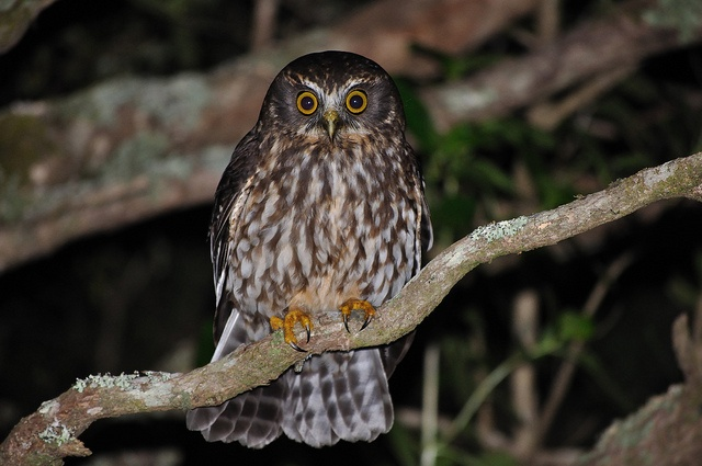 Morepork or Ruru by Flint|Foto, via Flickr.  this native New Zealand owl was seen as a watchfull guardian by the Maori as its a creature of the night    it is the only native owl that survived on the north island. It is often heard calling within dawn. the morepork is about 30cm big and weights 175 grams.