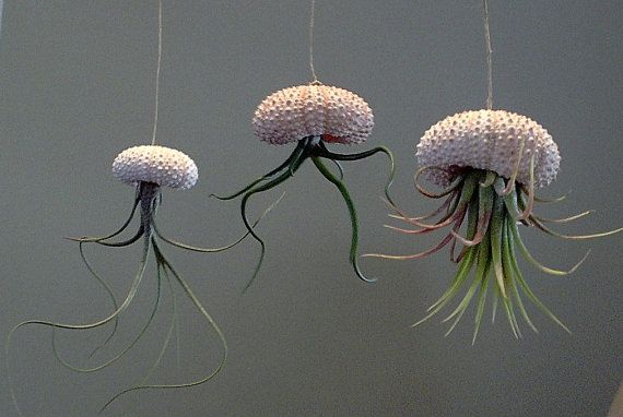 Three different air plants set in hanging sea urchins - maybe hang them from a nice piece of drift wood?