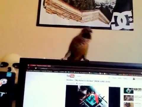 My Name Is Fuzzy, I'm A Dancing Conure. Dance With Me To Skrillex! - http://www.parrotshop.org/dancing-conure-dance-with-me-to-skrillex/