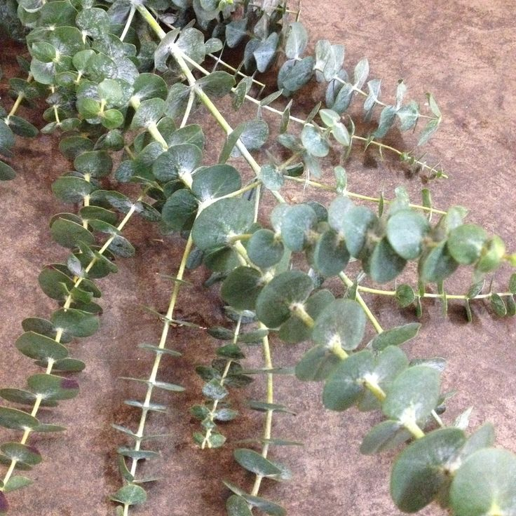 Close up image of Eucalyptus baby blue leaves. Available from the Flowermonger…