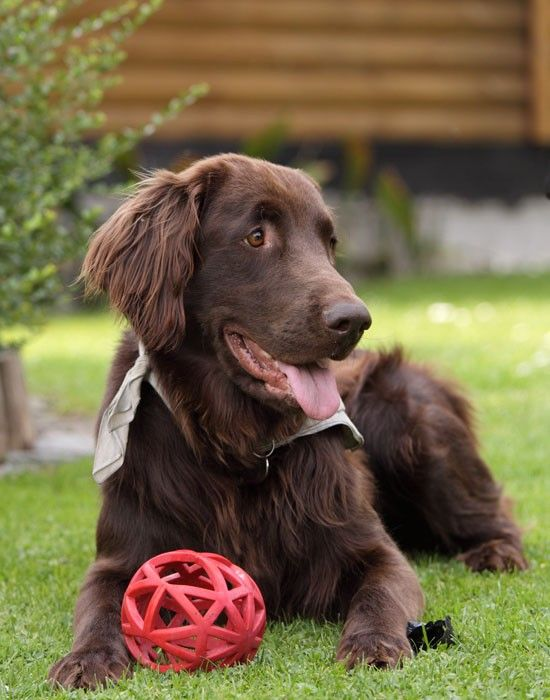 Gorgeous Brown Retriever Dog with its Ball in the Garden
