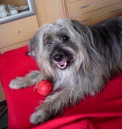 Französischer Hirtenhund Mix Tyson  Na, wo hab ich wohl den Ball versteckt?  Rasse: Französischer Hirtenhund Mix / Name: Tyson     Mehr lesen: http://d2l.in/2r  dogs2love - Gassi gehen zum Verlieben. Partnerbörse für alle, die Hunde lieben.  Bild, Dating, Foto, Hund, Single