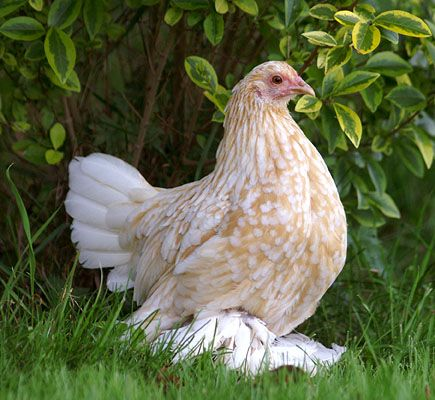 Sablepoot Booted Bantam Chicken - Google Search