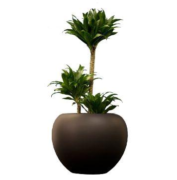 The 25+ best Draceana plant ideas on Pinterest | Corner plant ...