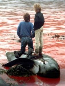 The Faroes Islands: cruel whale and dolphin slaughter! - http://www.campaign-whale.org/campaigns/the-faroes-cruel-whale-slaughter @sea Shepherd Conservation Society #defendconserveprotect