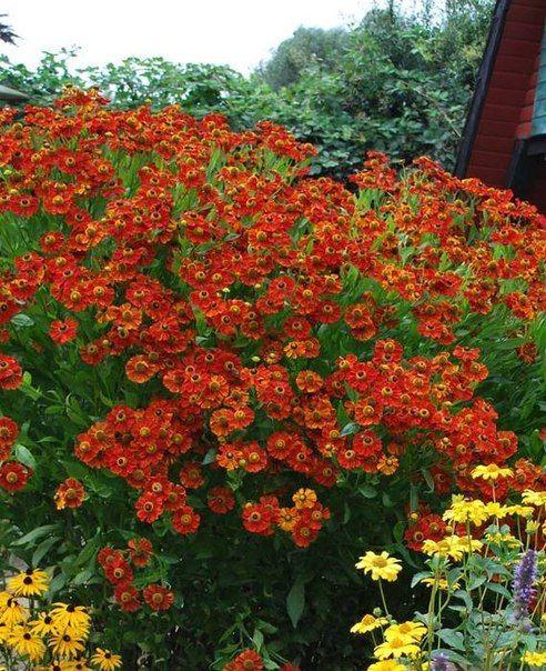 15 ЛУЧШИХ МНОГОЛЕТНИКОВ | Гелениумы любят солнце, выбор почвы для них не принципиален, главное – регулярный полив.  Рекомендуемые сорта – 'Waltraud' (оранжевые крупные соцветия, высота 80-100 см., ранний сорт), 'Rubinzwerg' (рубиново-красные соцветия, высота 70-80 см., среднеранний сорт), 'Septembergold' (ярко-желтые соцветия, высота 110 см, поздноцветущий сорт).