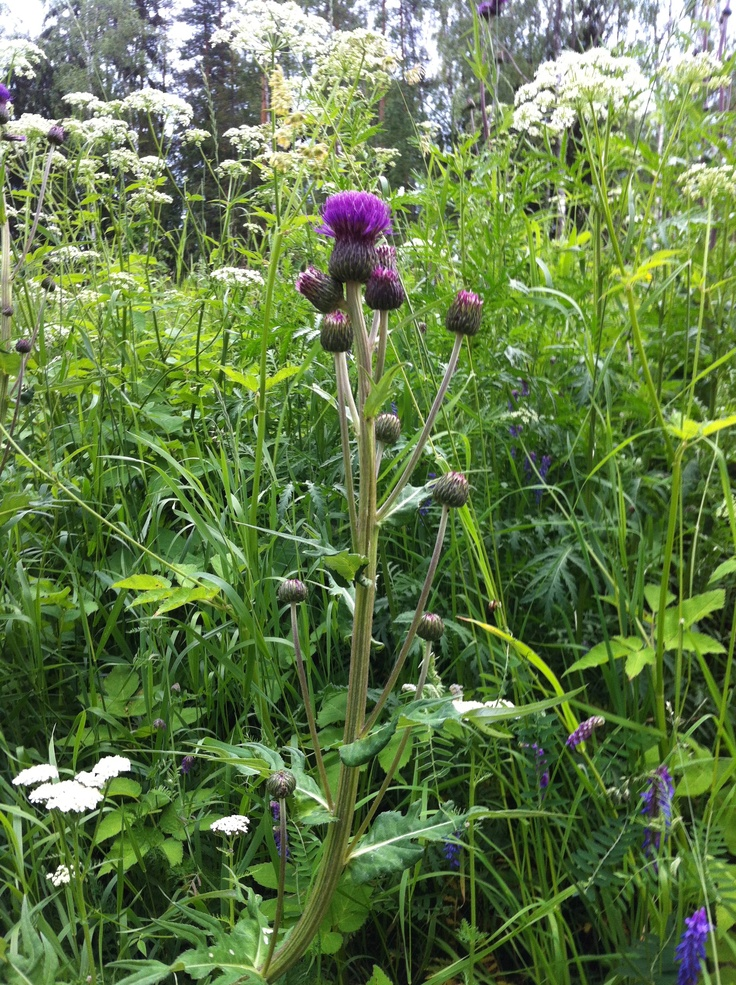 thistle in the meadow