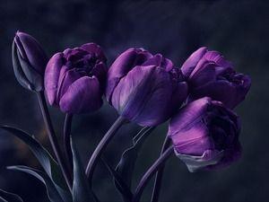 Обои Лиловые тюльпаны