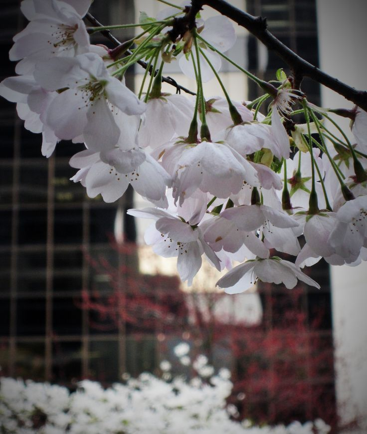 Ann Fernandez Photography © #annfernandezphotography #Canada #Vancouver #cherryblossoms