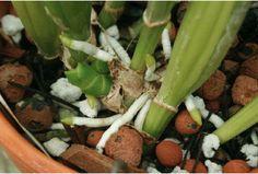 Las raíces de las orquídeas