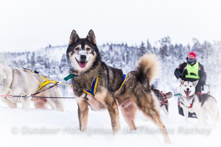 Eine Hundeschlitten-Tour mit dem Husky-Gespann bietet den Adrenalin-Kick und ein besonderes Outdoor-Abenteuer. Die Huskies strotzen vor Kraft und Ausdauer.