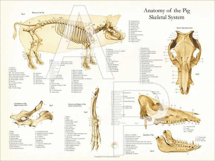 Pig skeletal anatomy chart. Bones of the skull and side view of skeleton.