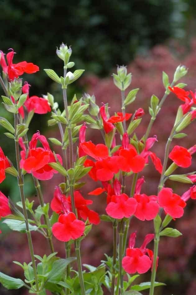 Sauge, j'en ai 3 dans le jardin. Pas fragile, pas d'entretien à part une bonne taille une fois par an, floraison très longue, très facile, supporte bien les fortes chaleurs, se marcotte très facilement etc...Bref c'est l'idéal si vous manquez de temps.