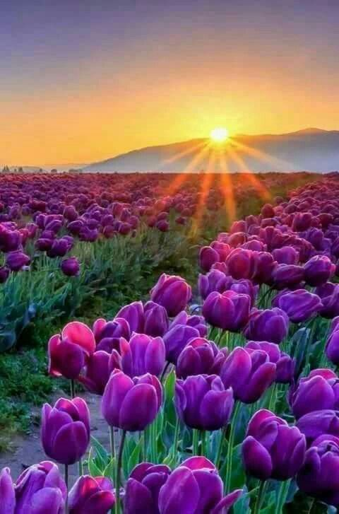 Sunrise over the mountains onto the beautiful rows of purple tulips.