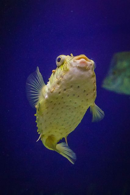 17 best images about puffer fish on pinterest denver for Puffer fish images