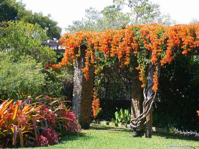 'Orange Trumpet Creeper' or 'Brazilian Flame Vine ...