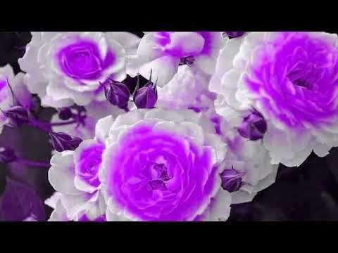 Imieniny Barbary Basi Basienki Youtube Barbary Flowers Rose